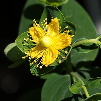 セイヨウオトギリソウ花/葉/茎エキス